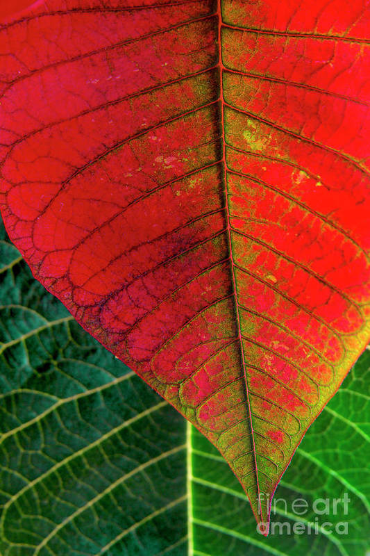 Autumn Print featuring the photograph Leafs Macro by Carlos Caetano