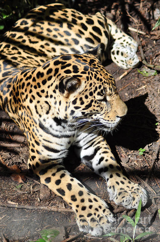 Animals Art Print featuring the photograph Leopard 2 by Madolyn Locke