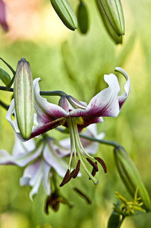 Gardens Art Print featuring the photograph Leslie Woodriffe Lily 2 by Michael Cummings