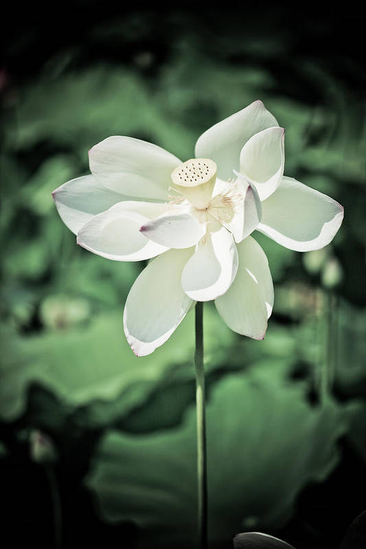 Outdoors Art Print featuring the photograph Lilies Of The Water Ivb by Irene Abdou
