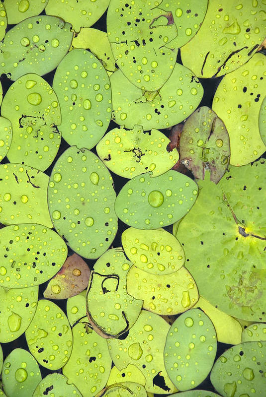 Lily Pads Art Print featuring the photograph Lily Pads by Jessica Wakefield