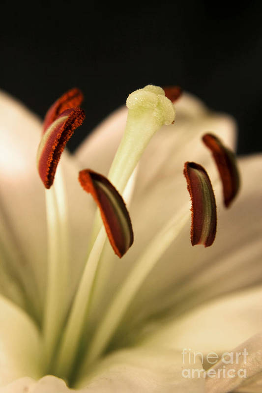 Lily Art Print featuring the photograph Lily Series 3 by Robin Lynne Schwind