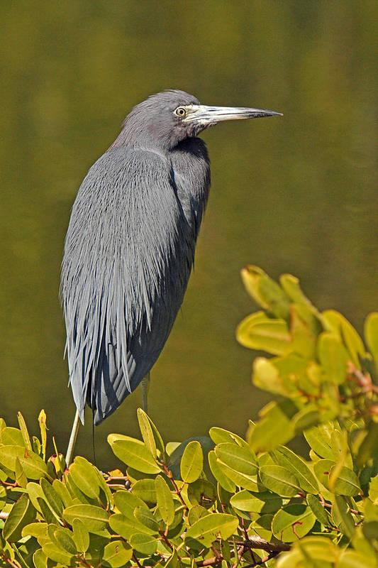 Heron Art Print featuring the photograph Little Blue Heron by Alan Lenk