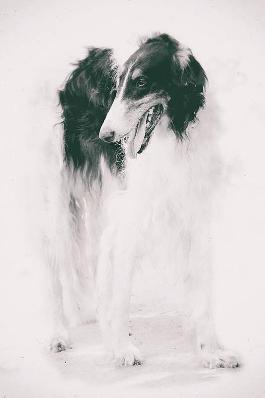 Long-legged Beauty Russian Hound By Irina Safonova Borzoi Art Print featuring the photograph long-legged beauty Russian hound by Irina Safonova