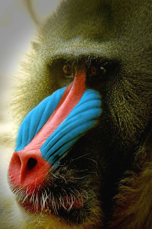 Mandrill Art Print featuring the photograph Mandrill by Richard Henne