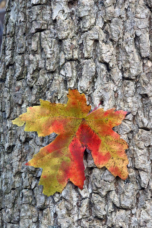 Fall Art Print featuring the photograph Maple Leaf On A Maple Tree by Andreas Freund
