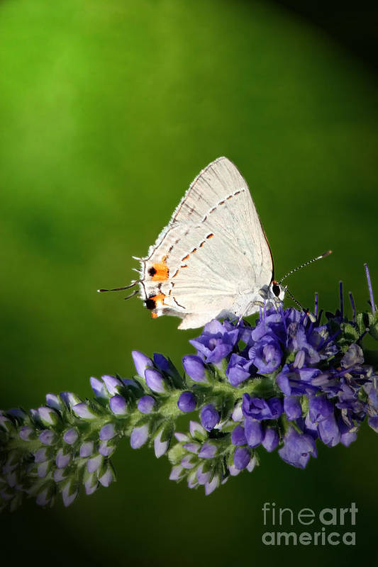 Marius Art Print featuring the photograph Marius Hairstreak Butterfly by Jeannie Burleson