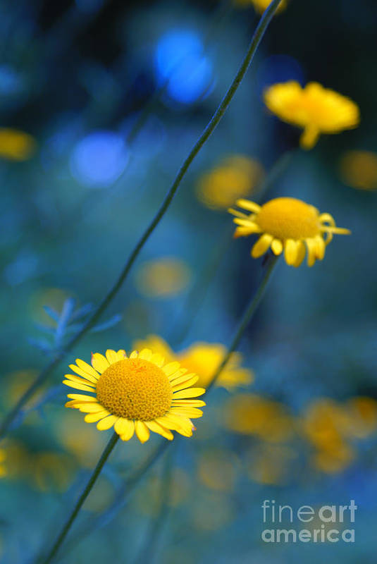 Daisies Art Print featuring the photograph Momentum 04a by Variance Collections