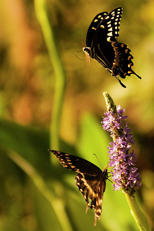 Monarch Butterflies Art Print featuring the photograph Monarch Butterflies In Spring At Wakulla Springs by Frank Feliciano