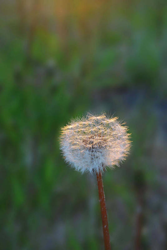 Dandelion Art Print featuring the photograph Morning Light by Marilynne Bull