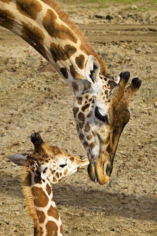 Mother Giraffe Baby Kiss Kissing Print featuring the photograph Mother Giraffe With Her Baby by Garry Gay