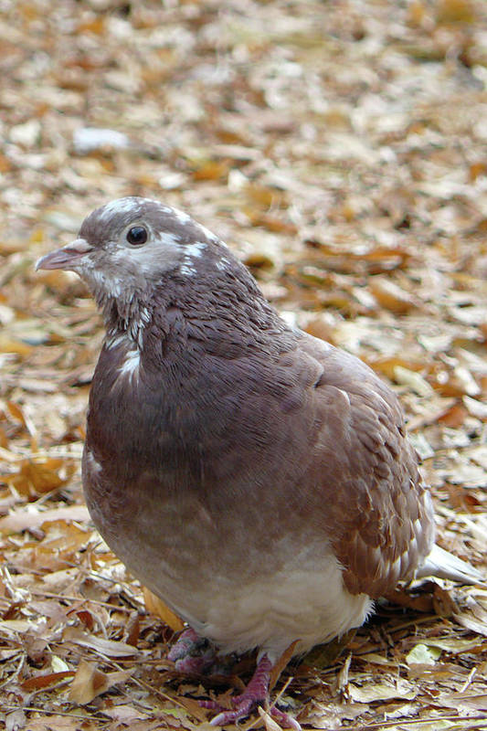 Dove Art Print featuring the photograph My Friend by Stacy Scandrett
