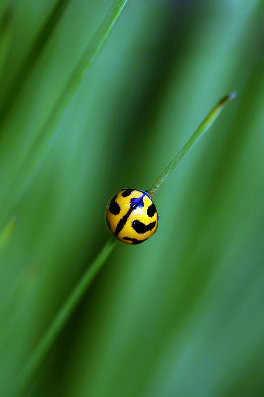Lady Beetle Art Print featuring the photograph Nature's Tightrope by Lesley Smitheringale