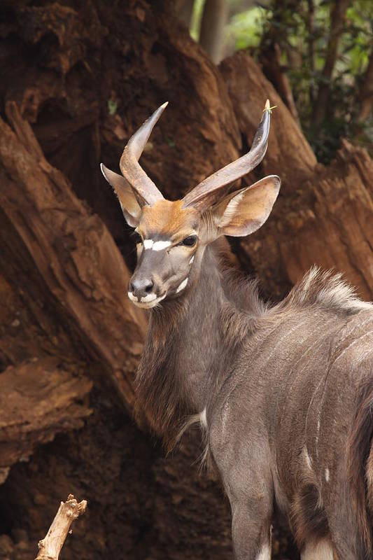 Nyala Art Print featuring the photograph Nyala by Shelly OBrien