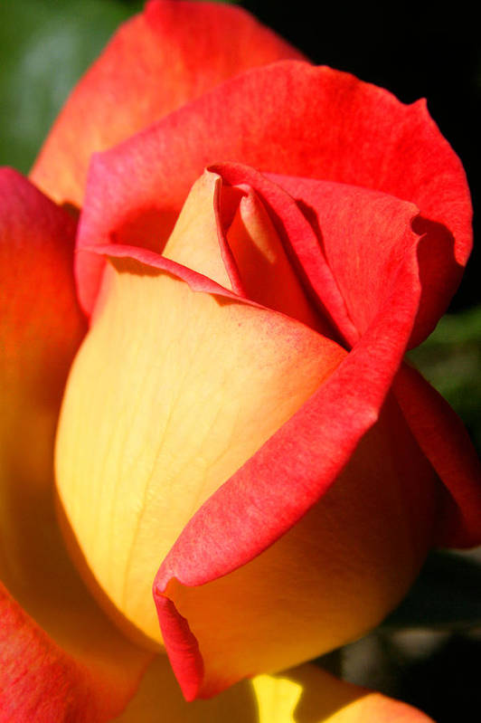 Orange Rosebud Art Print featuring the photograph Orange Rosebud by PIXELS XPOSED Ralph A Ledergerber Photography