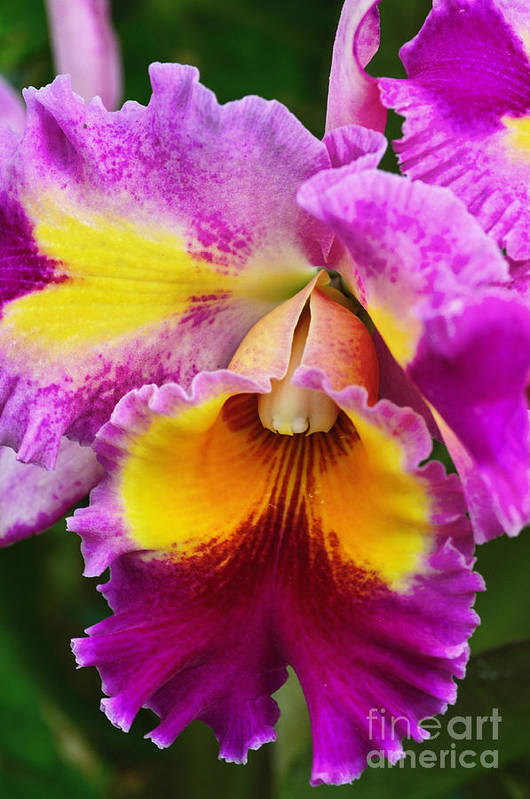 Nature Art Print featuring the photograph Orchid Expression 9550 by Alex Wencelblat
