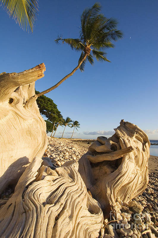 Afternoon Art Print featuring the photograph Palm And Driftwood by Ron Dahlquist - Printscapes