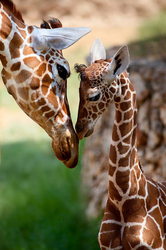 Giraffe Art Print featuring the photograph Parent-child Relationship by Yuri Peress