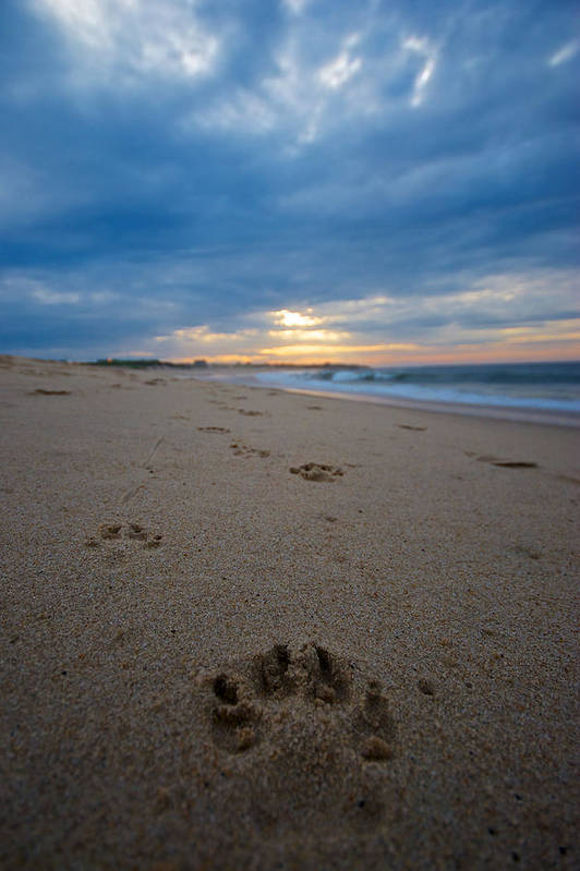 Beach Art Print featuring the photograph Pawprints by Mike Horvath