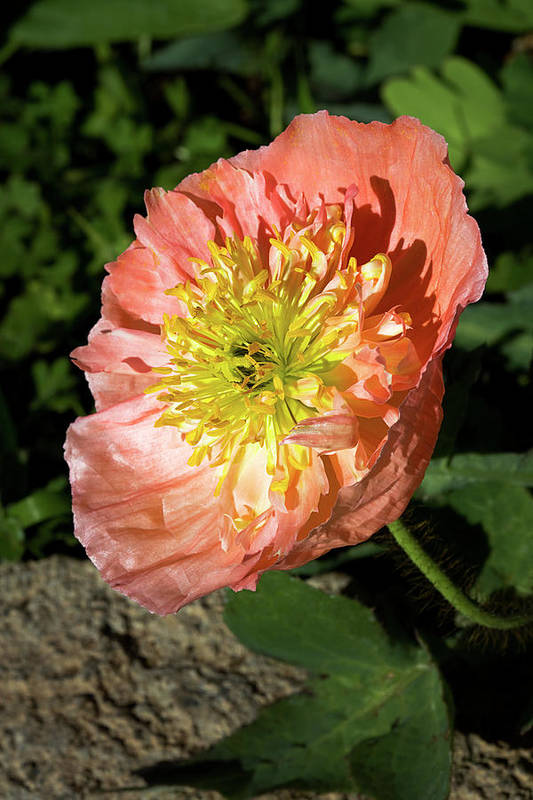 Poppy Art Print featuring the photograph Peach Colored Poppy by Phyllis Denton