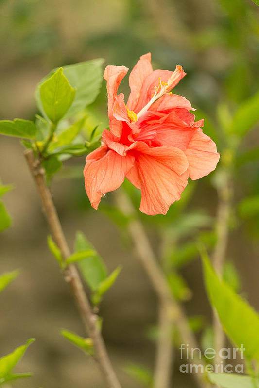 Flowers Art Print featuring the photograph Peach Hibiscus by Beverly Tabet