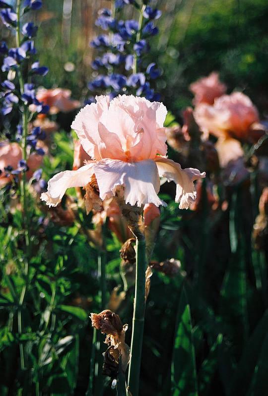Flower Art Print featuring the photograph Peach Iris by Steve Karol
