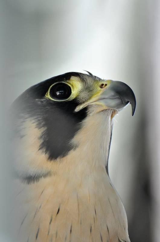 Falcon Art Print featuring the photograph Perigrene Falcon by Jo-Ann Matthews
