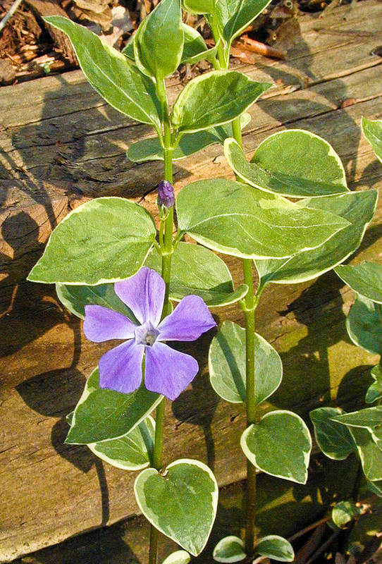 Periwinkle Art Print featuring the photograph Periwinkle by Douglas Barnett