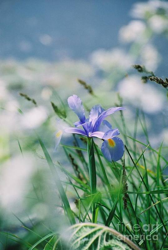 Periwinkle Art Print featuring the photograph Periwinkle Iris by Nadine Rippelmeyer