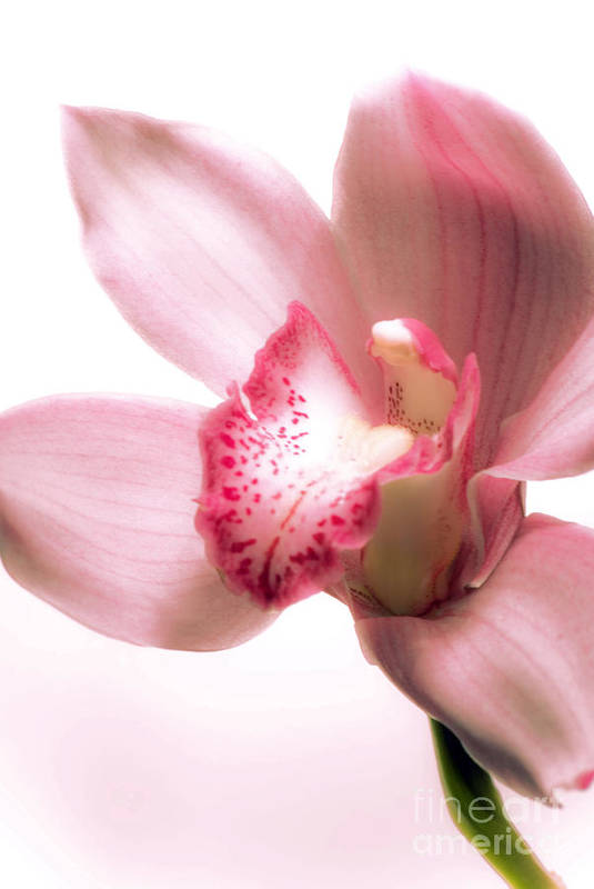 Orchid Art Print featuring the photograph Perky Orchid by Karen Lewis