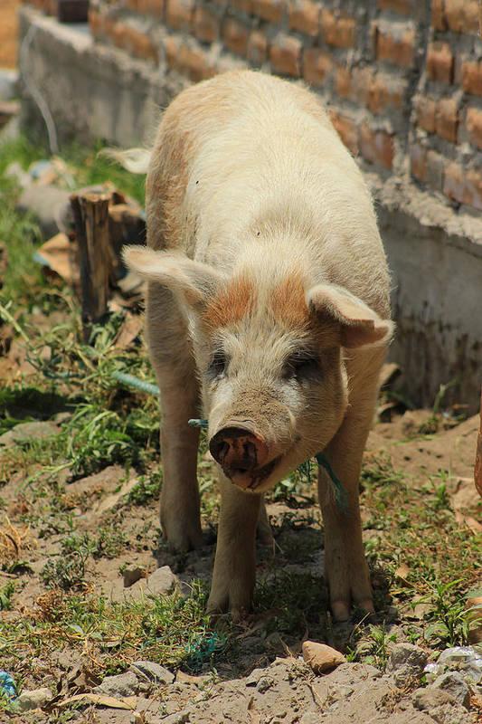 Pig Art Print featuring the photograph Pig On A Farm by Robert Hamm
