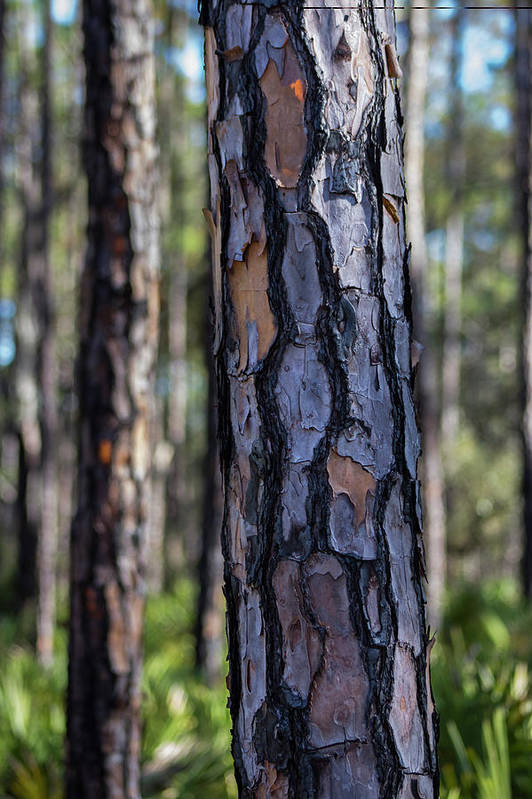 Pine Art Print featuring the photograph Pine Tree Bark by By Way of Karma