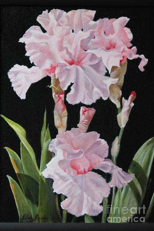 Oil Art Print featuring the painting Pink Iris by Elaine Jacobs