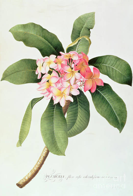 Botanical; Tubular Flowers; Frangipani Tree; Frangipanier Art Print featuring the painting Plumeria by Georg Dionysius Ehret