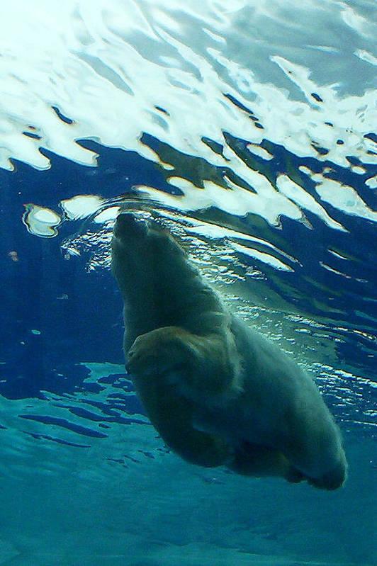 Polar Bear Art Print featuring the photograph Polar Swim by Jennifer Englehardt
