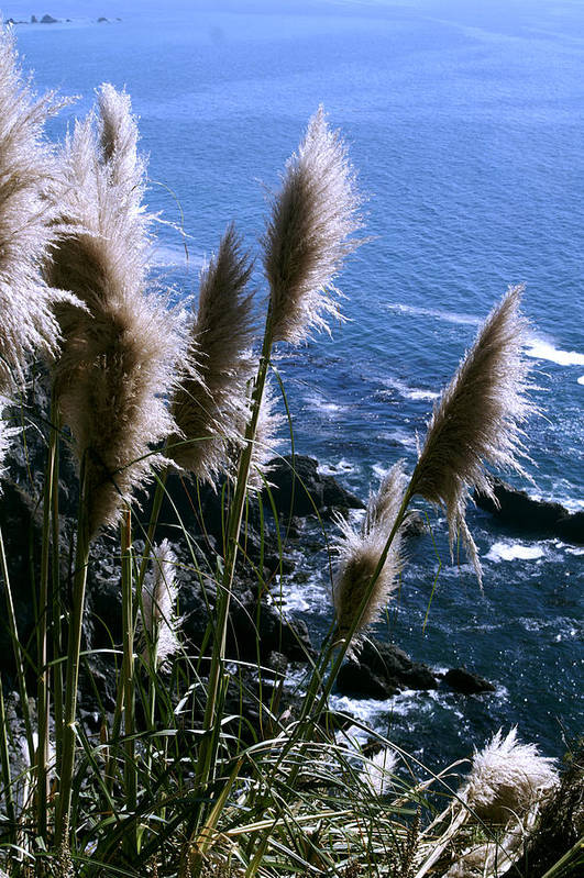Coastal Art Print featuring the photograph Pompas Grass2 by Gary Brandes