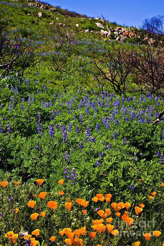 California Art Print featuring the photograph Poppies Before Lupines by Greg Clure