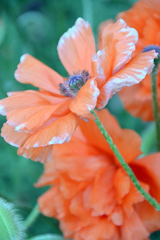 Papaver Somniferum. Opium Art Print featuring the photograph Poppy Passion by Angelina Vick