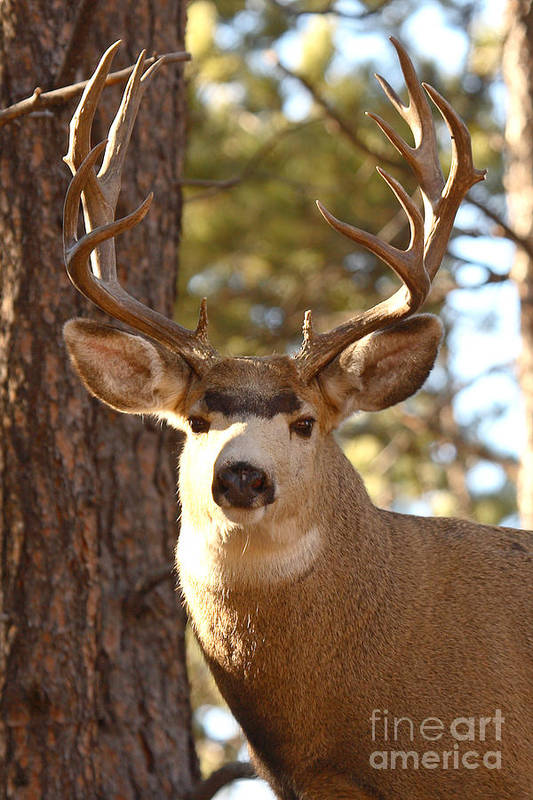 Buck Art Print featuring the photograph Portrait Of A 15-point Buck by Max Allen