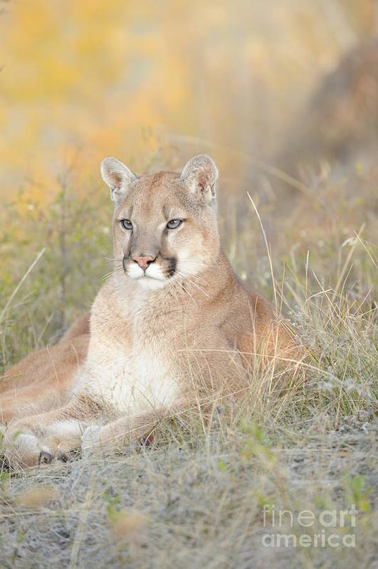 Mountain Lion Art Print featuring the photograph Portrait Of A Mountain Lion by Dennis Hammer