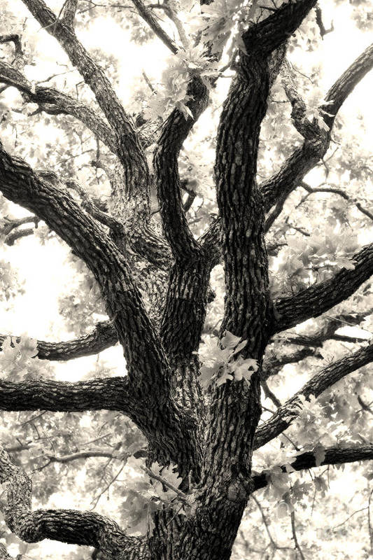 Post Art Print featuring the photograph Post Oak by Jeannie Burleson