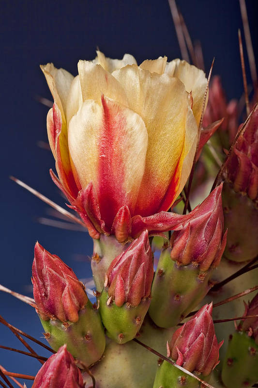 Prickly Pear Art Print featuring the photograph Prickly Pear Flower by Kelley King