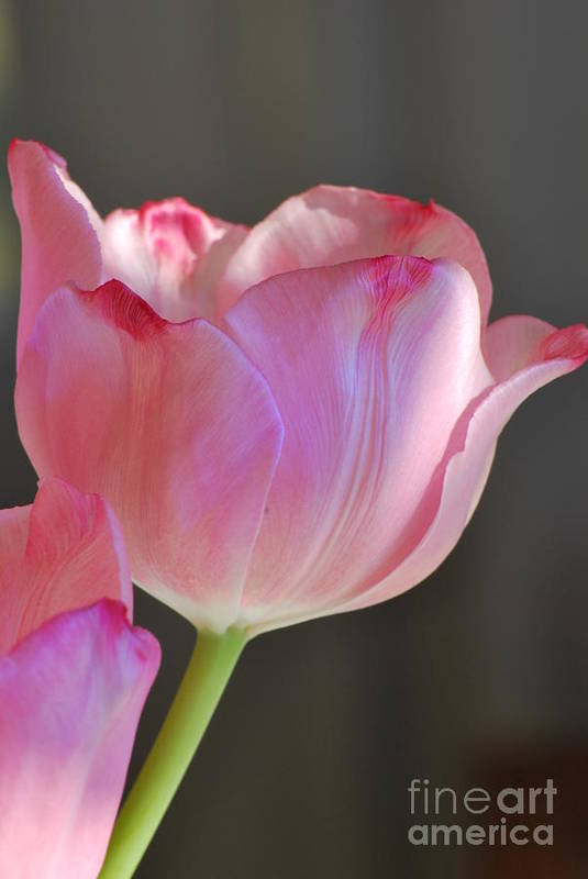Tulip Art Print featuring the photograph Prismatic Beauty by Michelle Hastings