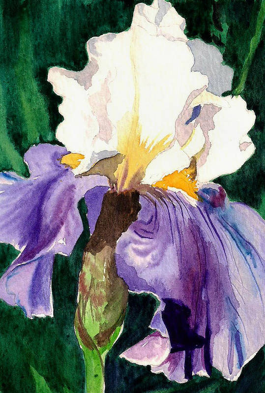 Flower Art Print featuring the painting Purple And White Iris by Janis Grau