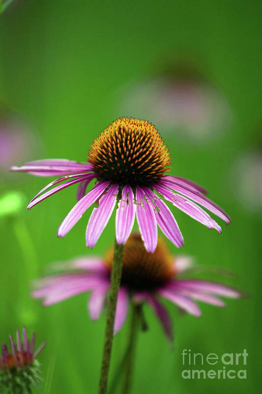 Alternative Art Print featuring the photograph Purple Cone Flower by Alan Look