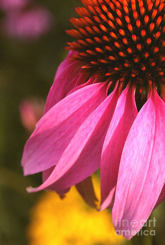 Coneflower Art Print featuring the photograph Purple Coneflower Close-up by Steve Augustin