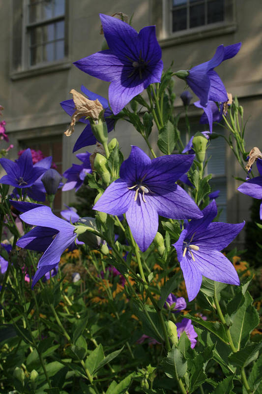 Flowers Art Print featuring the photograph Purple Stars by Alan Rutherford