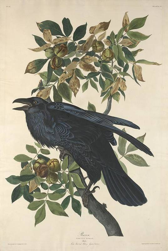 Audubon Art Print featuring the drawing Raven by Dreyer Wildlife Print Collections