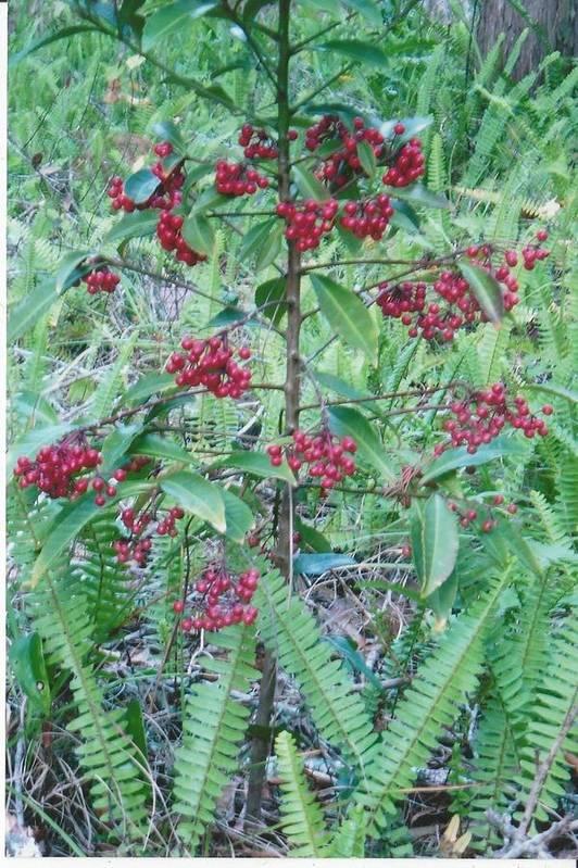 Photograph Art Print featuring the photograph Red Berries by Tara Kearce