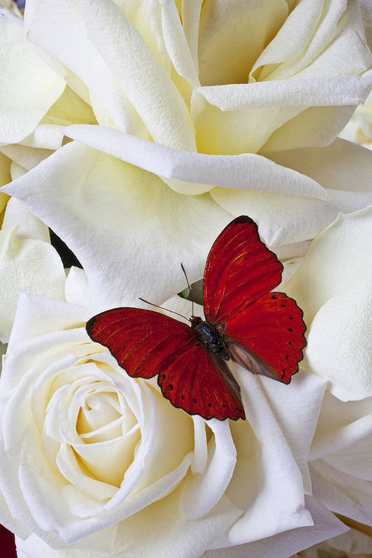 Red Art Print featuring the photograph Red Butterfly On White Roses by Garry Gay
